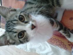 Sacha, chat Européen