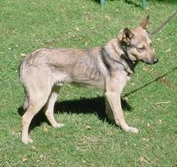 Sadawed Kalthawehos, chien