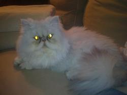 Sael, chat Persan