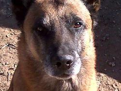 Safco, chien Berger belge