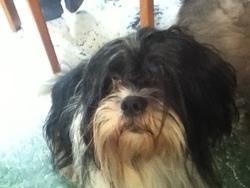 Safira, chien Shih Tzu