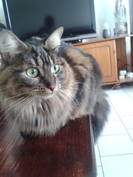 Safira, chat Maine Coon
