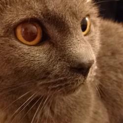 Safran, chat Chartreux