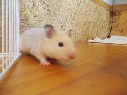 Sahara, rongeur Hamster