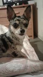 Sahelle, chien Chihuahua