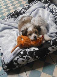 Saiko, chien Coton de Tuléar