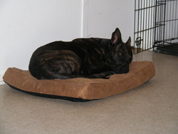 Saiph, chien