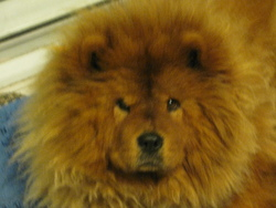 Sake, chien Chow-Chow