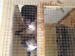 Saki, rongeur Rat