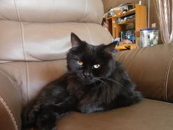 Sakura, chat Gouttière