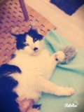 Sakura, chat Européen
