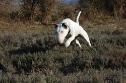 Salander, chien Bull Terrier