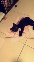 Salem, chaton Européen