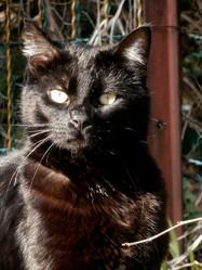 Salem, chat Européen