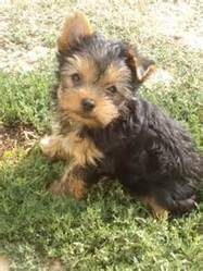 Salie, chien Yorkshire Terrier