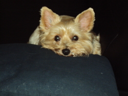 Sally, chien Yorkshire Terrier