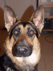 Sally, chien Berger allemand