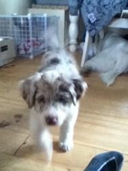 Sally, chien Berger australien