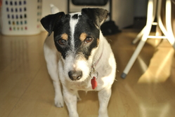 Sally, chien Jack Russell Terrier