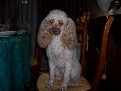 Sally, chien Caniche