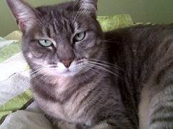 Sally, chat Chartreux