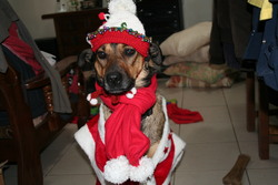 Salombo, chien Berger belge