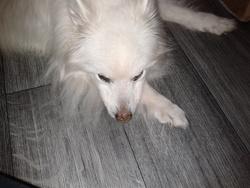 Salomé  Au Repos éternel , chien Spitz allemand