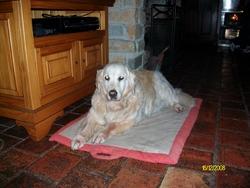 Salsa, chien Golden Retriever