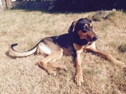 Saly, chien Dobermann