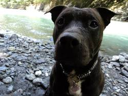 Saly, chien Staffordshire Bull Terrier