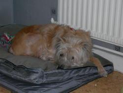 Sam, chien Berger des Pyrénées