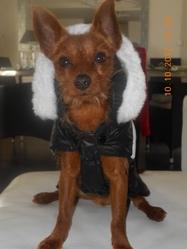 Sam, chien Chihuahua