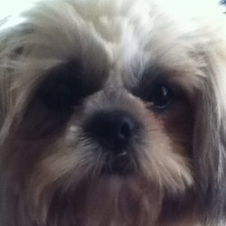 Sam, chien Shih Tzu