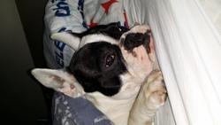 Sam, chien Bouledogue français