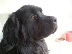 Sam, chien Terre-Neuve