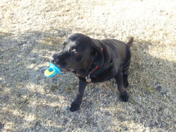 Sam, chien Labrador Retriever
