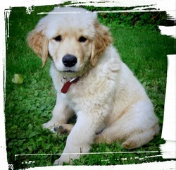 Sam, chien Golden Retriever