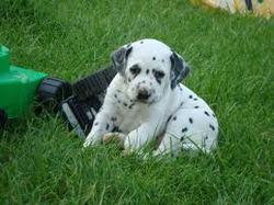 Sam, chien Dalmatien