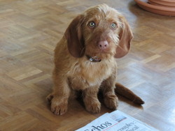 Sam, chien Basset fauve de Bretagne
