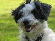 Sam, chien Bichon havanais