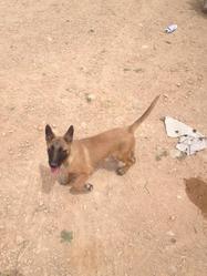 Sam, chien Berger belge
