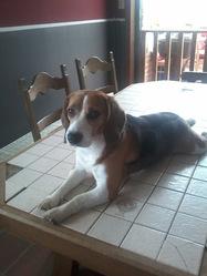 Sam, chien Beagle