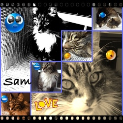 Sam, chat Maine Coon