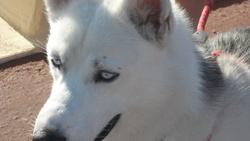 Sam, chien Husky sibérien