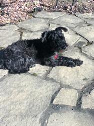 Sam, chien Schnauzer