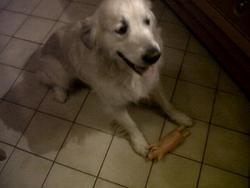 Sam, chien Golden Retriever