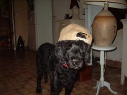 Sam, chien Chien d'eau portugais