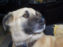 Sam', chien Berger d'Anatolie