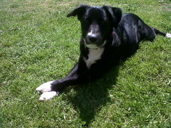 Sam, chien Border Collie