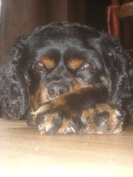 Sam, chien Cavalier King Charles Spaniel